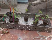 Кіровоградщина: на горищі будинку місцевого мешканця виявили «розсаду» коноплі
