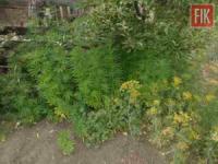 Поліцейські вилучили у жителя Кіровоградщини «урожай» коноплі