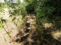 На Кіровоградщині чоловіки дбайливо доглядали за посівами наркотичного зілля