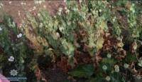 На Кіровоградщині вилучили понад дві сотні нарковмісних рослин