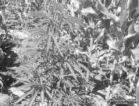Поліцейські викрили жителя Кіровоградщини у вирощуванні коноплі