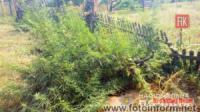 В Олександрії трьох місцевих жителів викрито у вирощуванні коноплі