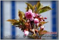 У Кропивницькому розцвіла сакура