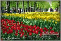 У Кропивницькому розквітло «море» тюльпанів
