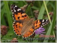 На Кіровоградщині відмічається масовий літ метеликів чортополохівки