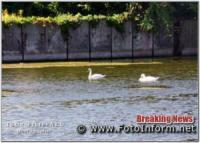 У Кропивницькому оселилися лебеді