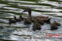 У Кропивницькому дикі качки заполонили Інгул