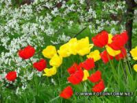 У Кропивницькому розквітли тюльпани