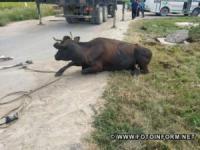 На Кіровоградщині в каналізаційну яму впала корова